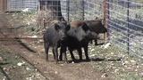 Texas ag chief OKs use of poison to bring a 'hog apocalypse'