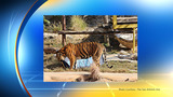 San Antonio Zoo tiger predicts Panthers over Broncos