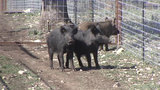 Feral hogs pegged as one of top contaminators of San Antonio River