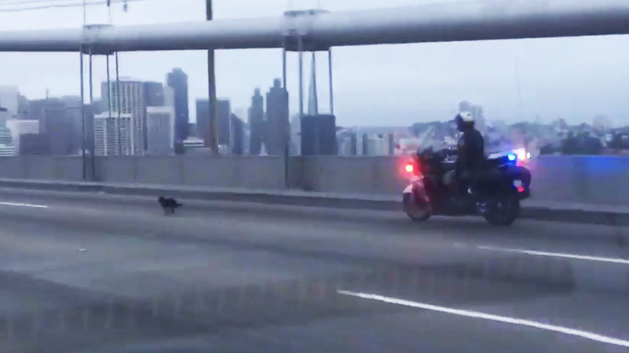 Ay chihuahua dog leads california officers on chase across for Bay bridge run 2016