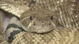 Pet owners beware: Local rattlesnakes on the move
