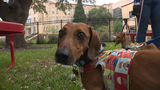 Diamond Dachshund looking to focus on rehabbing shelter dogs