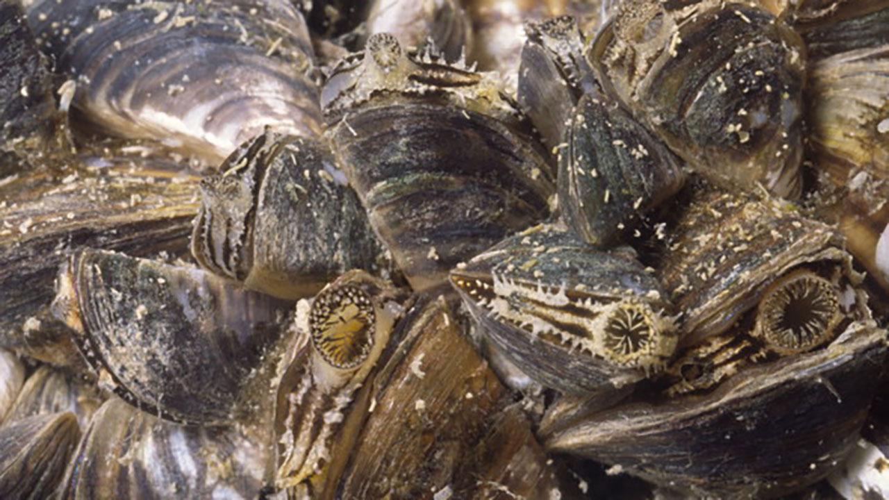 Texas Steps Up Anti Zebra Mussels Effort Going Into Summer