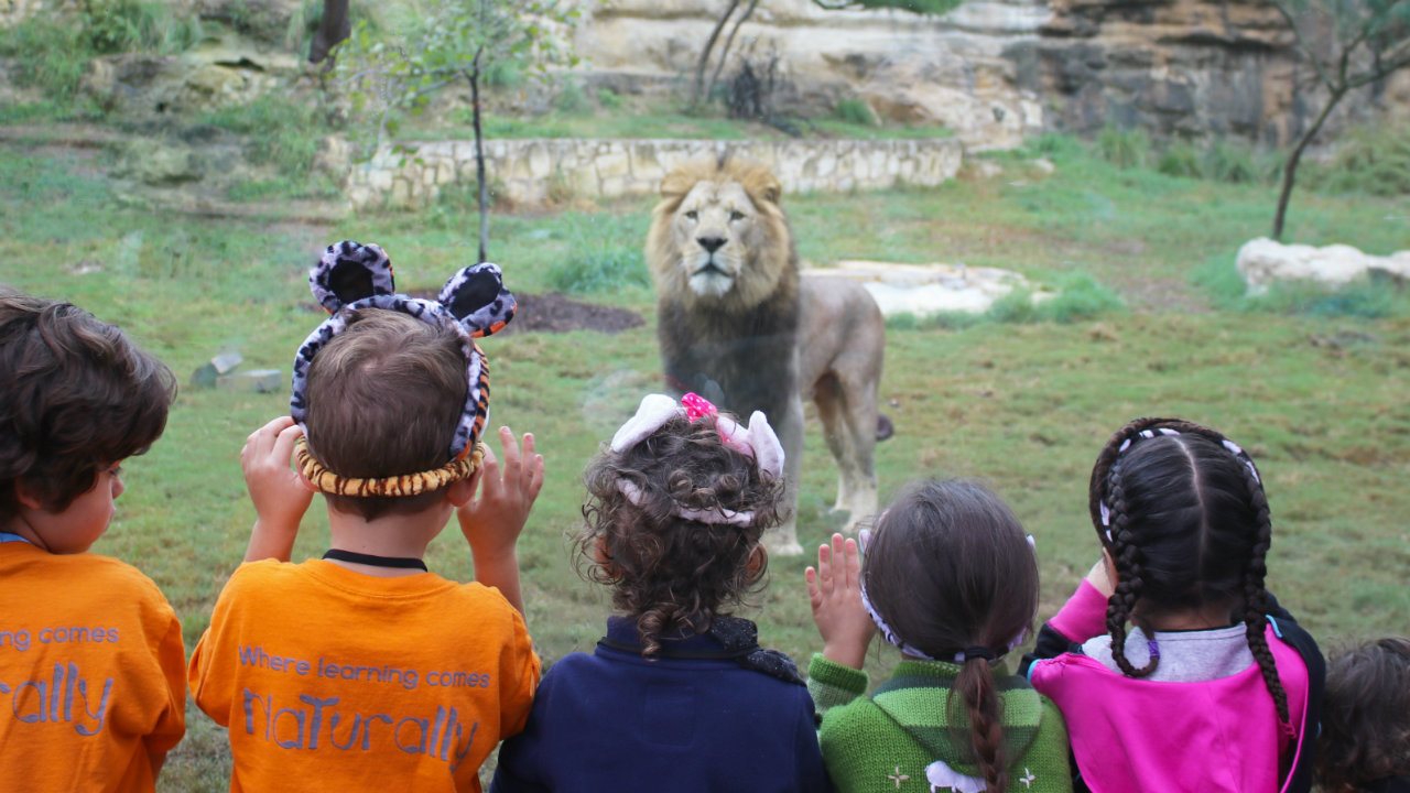 1 Million Upgrade Completed To San Antonio Zoo S Lion Habitat