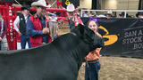 Champion steer crowned at San Antonio Stock Show and Rodeo