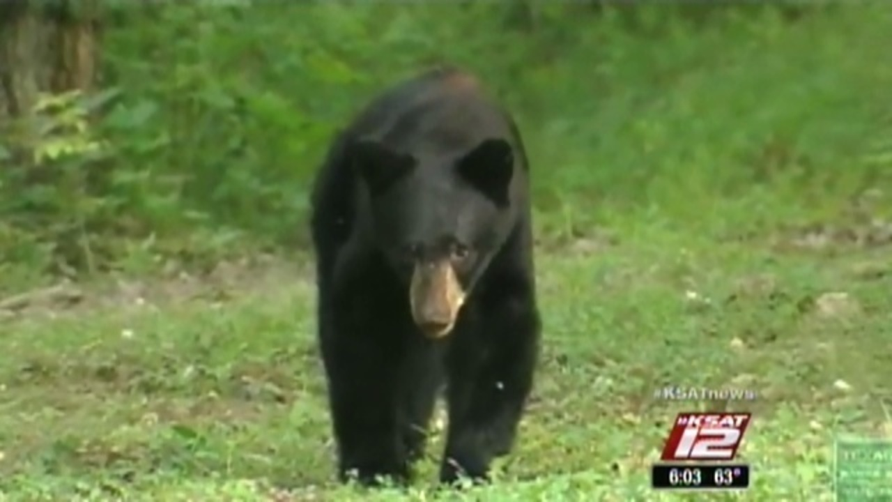 Black Bear Sightings Continue To Increase In South Texas