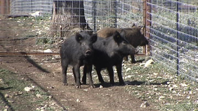 Texas governor signs bill allowing killing of feral hogs without license