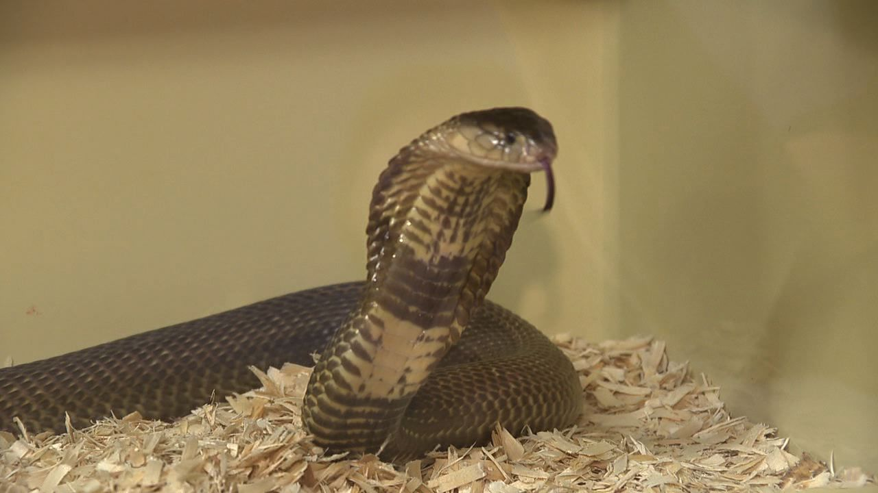 Monocled Cobra Likely Responsible For Death In Round Rock