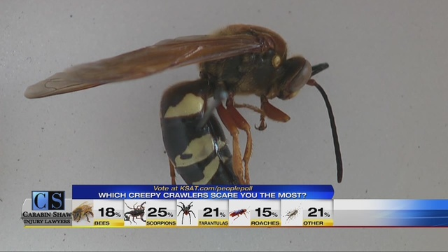 giant wasps showing up in south texas