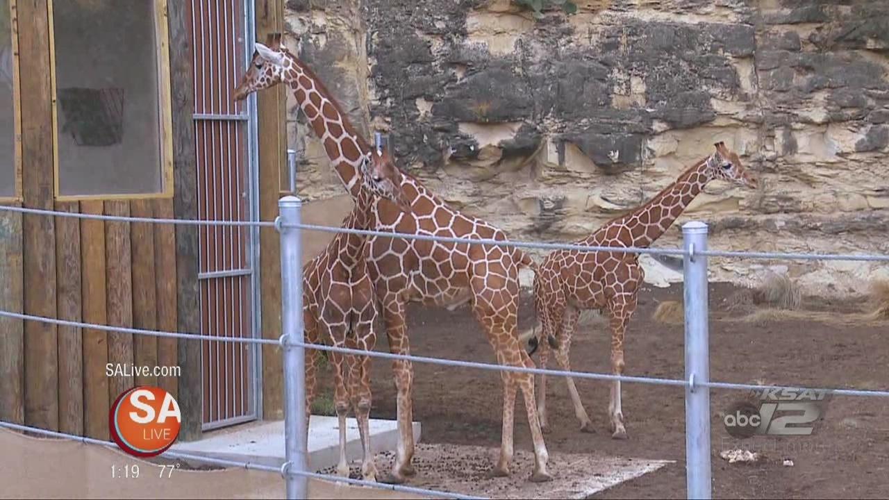 The San Antonio Zoo Opens A New Giraffe Exhibit