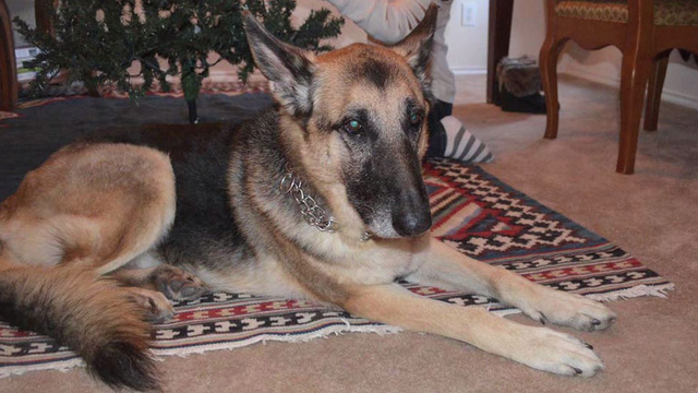 For missing service-dog that is German shepherd seasoned searches