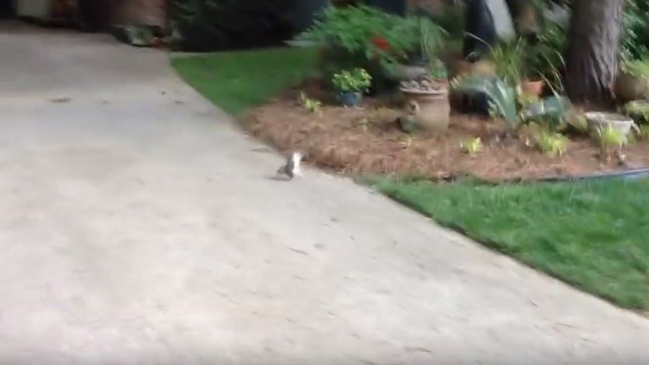 Viral Video Squirrel With No Hind Legs Does Handstand To