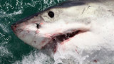 Discovery Channel's Shark Week begins with heavy bite