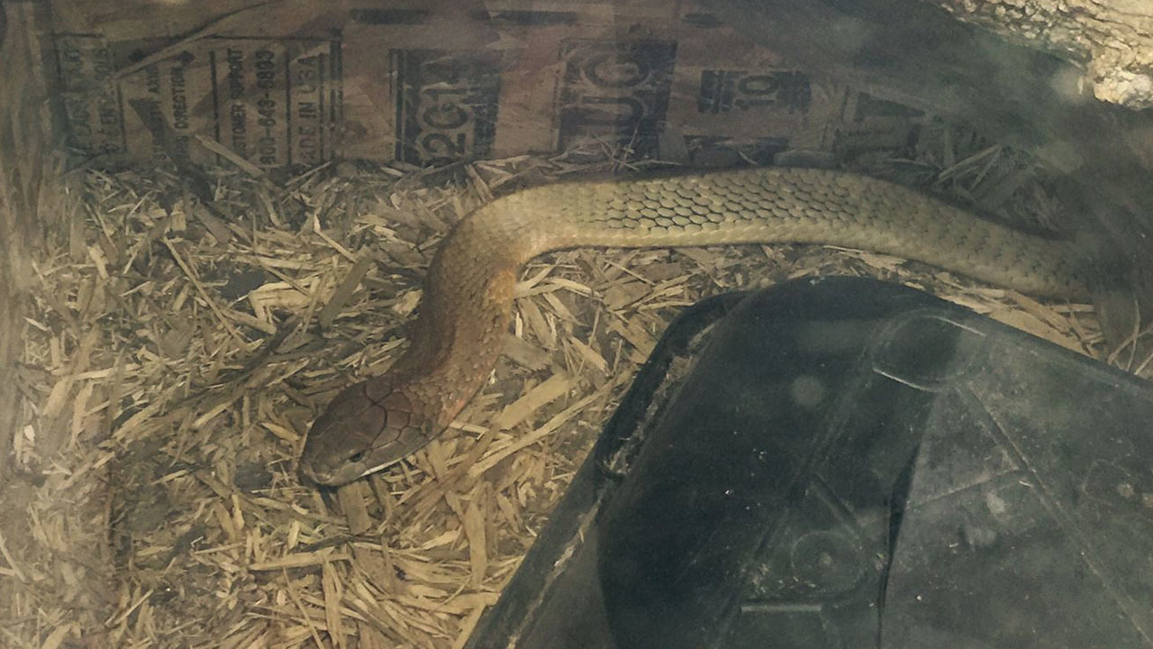 10 foot cobra found after hours long search near southeast. Black Bedroom Furniture Sets. Home Design Ideas