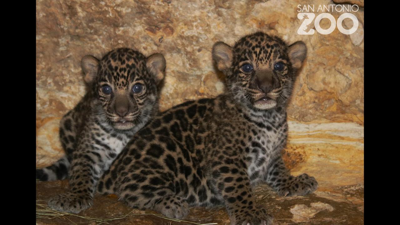 Jaguar San Antonio >> Gender Of Jaguar Cubs Born At San Antonio Zoo Revealed