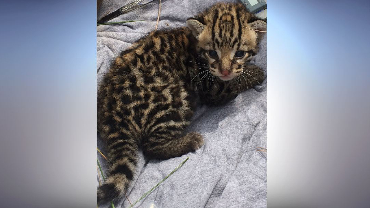 Us Fish And Wildlife Discovers First Ocelot Den In 20 Years
