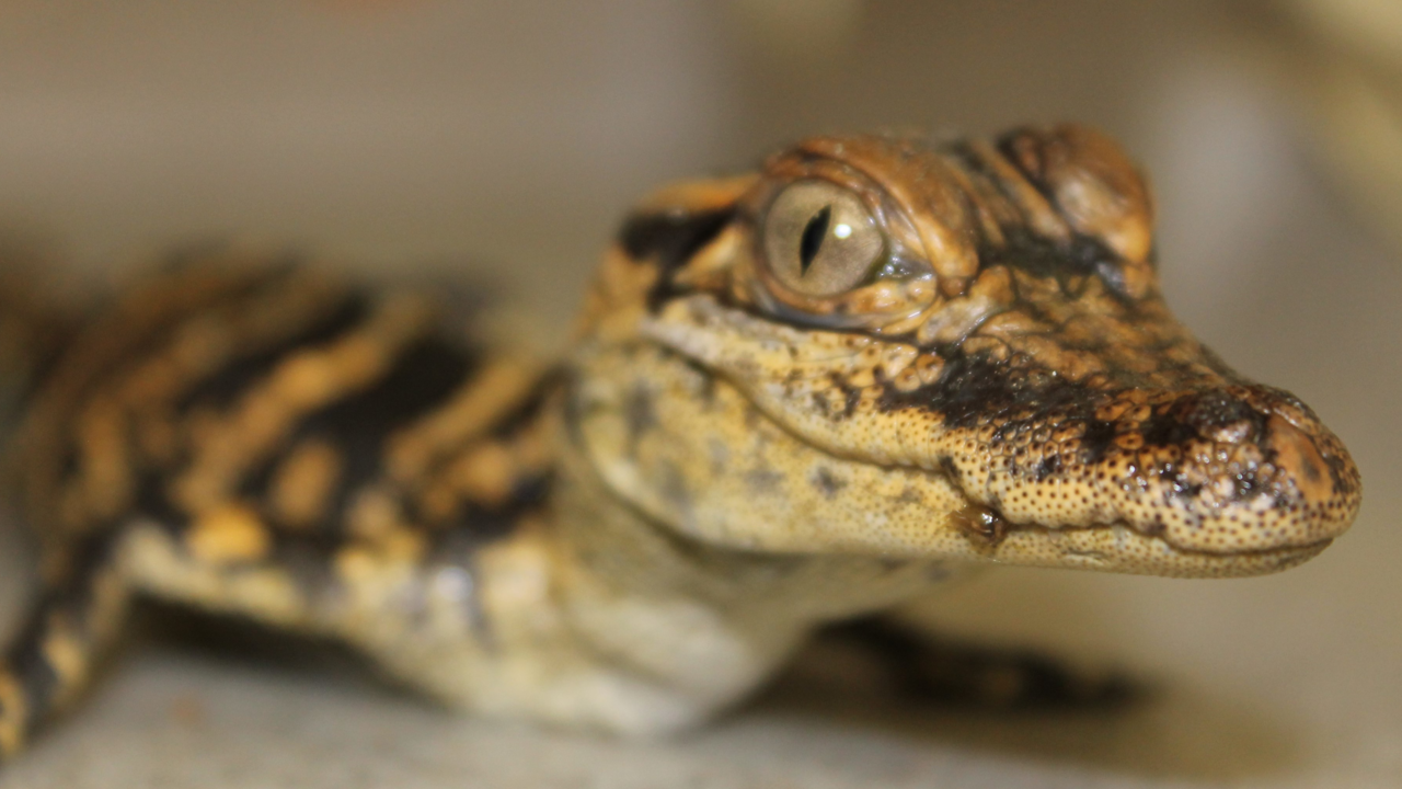 Baby Alligator Found Abandoned Near South Side Home