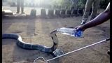 Giant snake drinks from water bottle