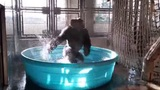 Dancing Gorilla Shows Off Moves in Kiddie Pool