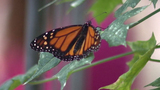 UTSA to conduct research on monarch butterflies