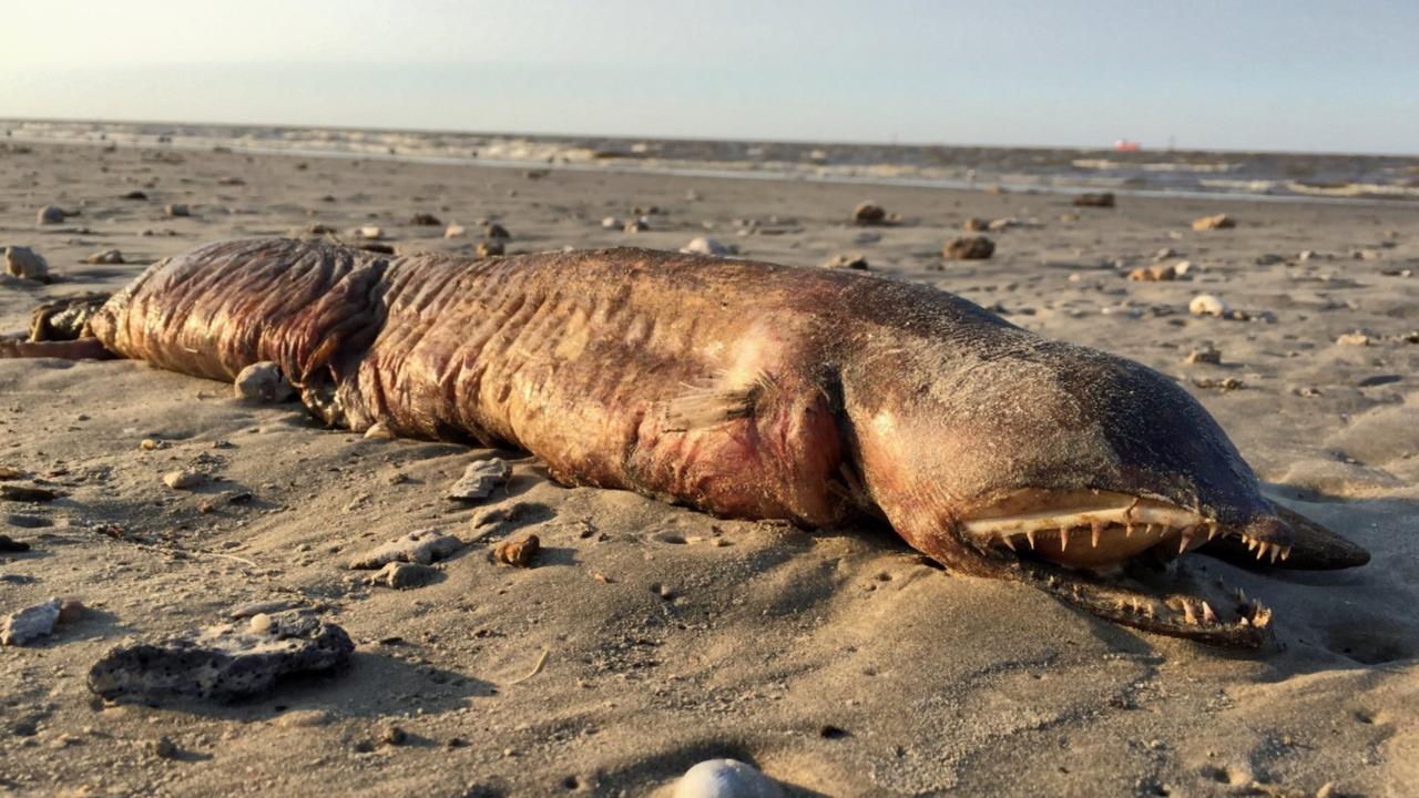 Mysterious sea creature that washed up on Texas beach after...