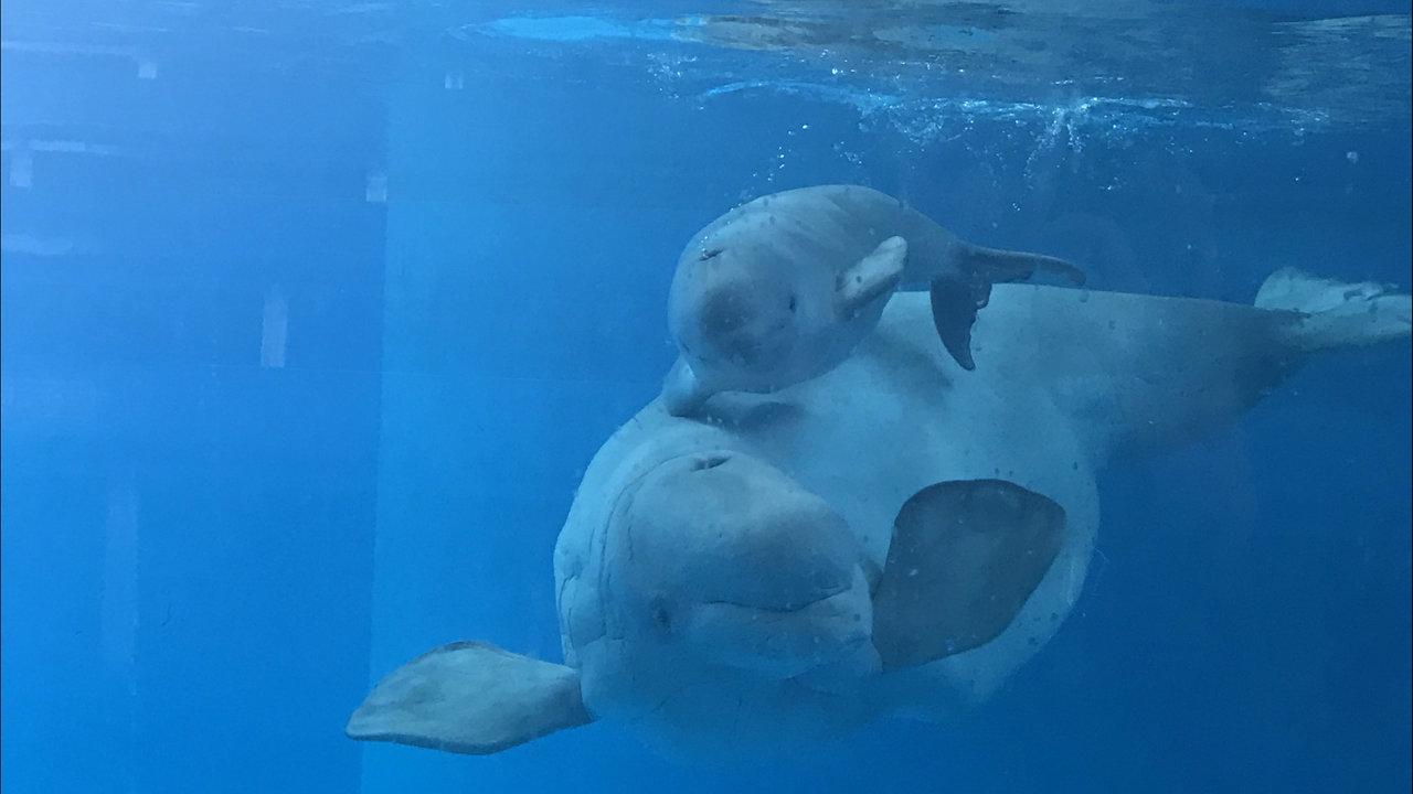 san antonio seaworld welcomes 125 pound beluga whale calf
