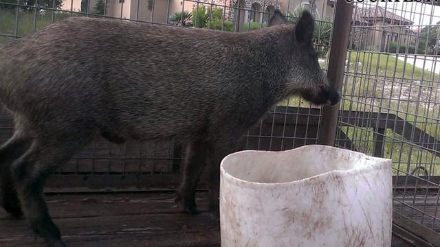 feral pigs pig hog 1