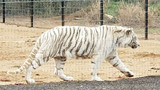 Tigers, bears rescued by Texas Parks and Wildlife, animal sanctuary