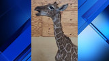 Texas zoo captures incredibly rare moment of giraffe calf vocalizing