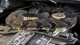 Man finds rattlesnake under hood while trying to start car