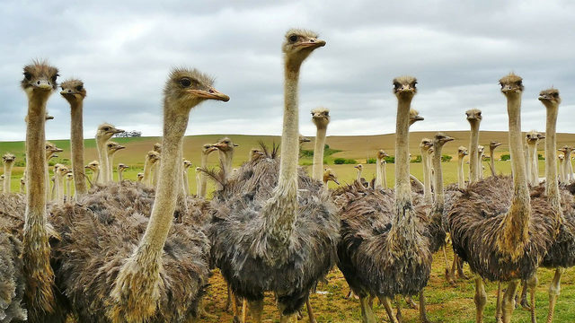 Watch ostrich, zebra, camel races at Retama