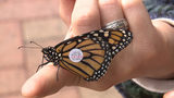 Hundreds of butterflies tagged, released at Butterfly Festival