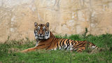 San Antonio Zoo's 12-year-old Sumatran tiger dies during routine physical