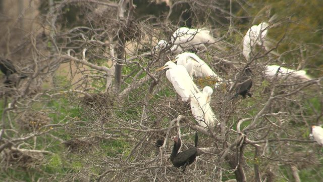 Egrets set to be evicted from Elmendorf Lake Park