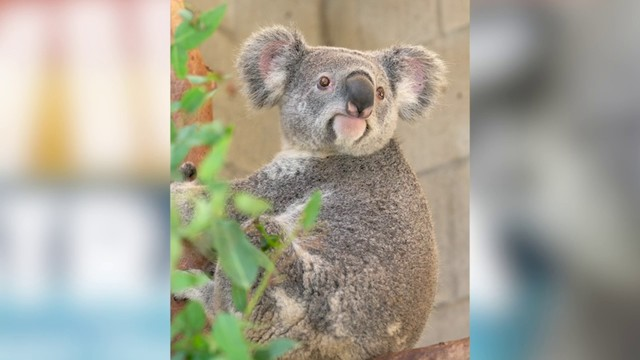 KOALA CAM: Take a live look inside the koala habitat at San Antonio Zoo