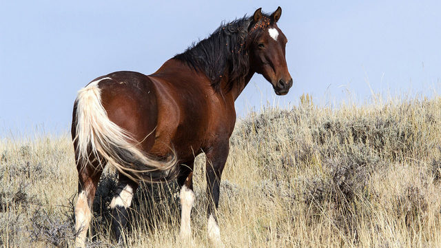 Government will pay you $1,000 to adopt wild horse