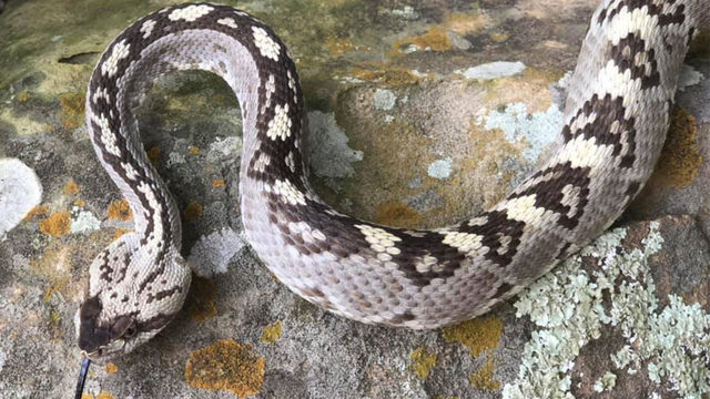 Rare rattlesnake found in Travis County