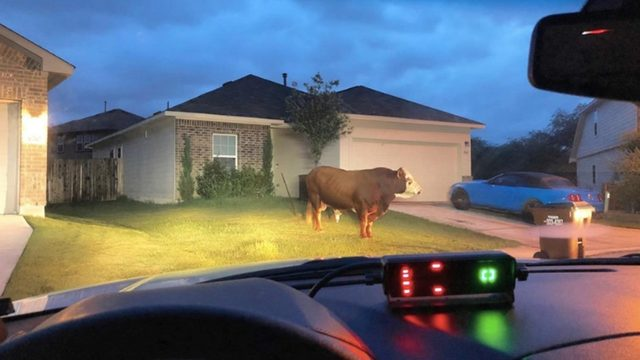 No bull: Big bovine found in front yard of home