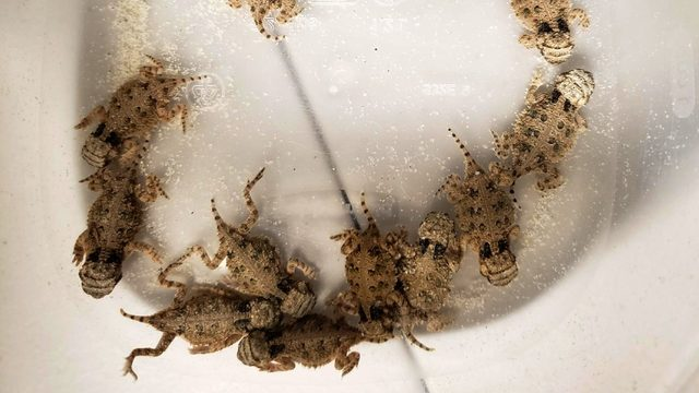 Endangered Texas Horned Lizards hatched at San Antonio Zoo