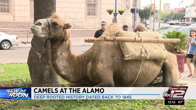 Camels provide history lesson at The Alamo