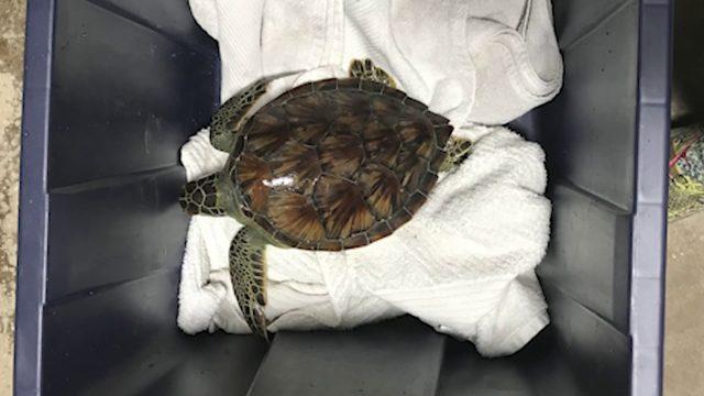 Endangered sea turtle dropped off at doorstep of San Antonio Aquarium
