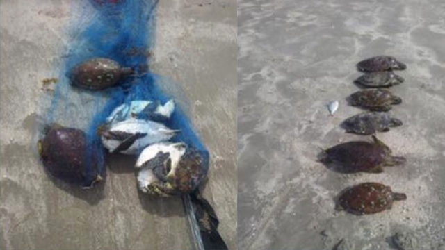 Six endangered green sea turtles killed in Nueces County