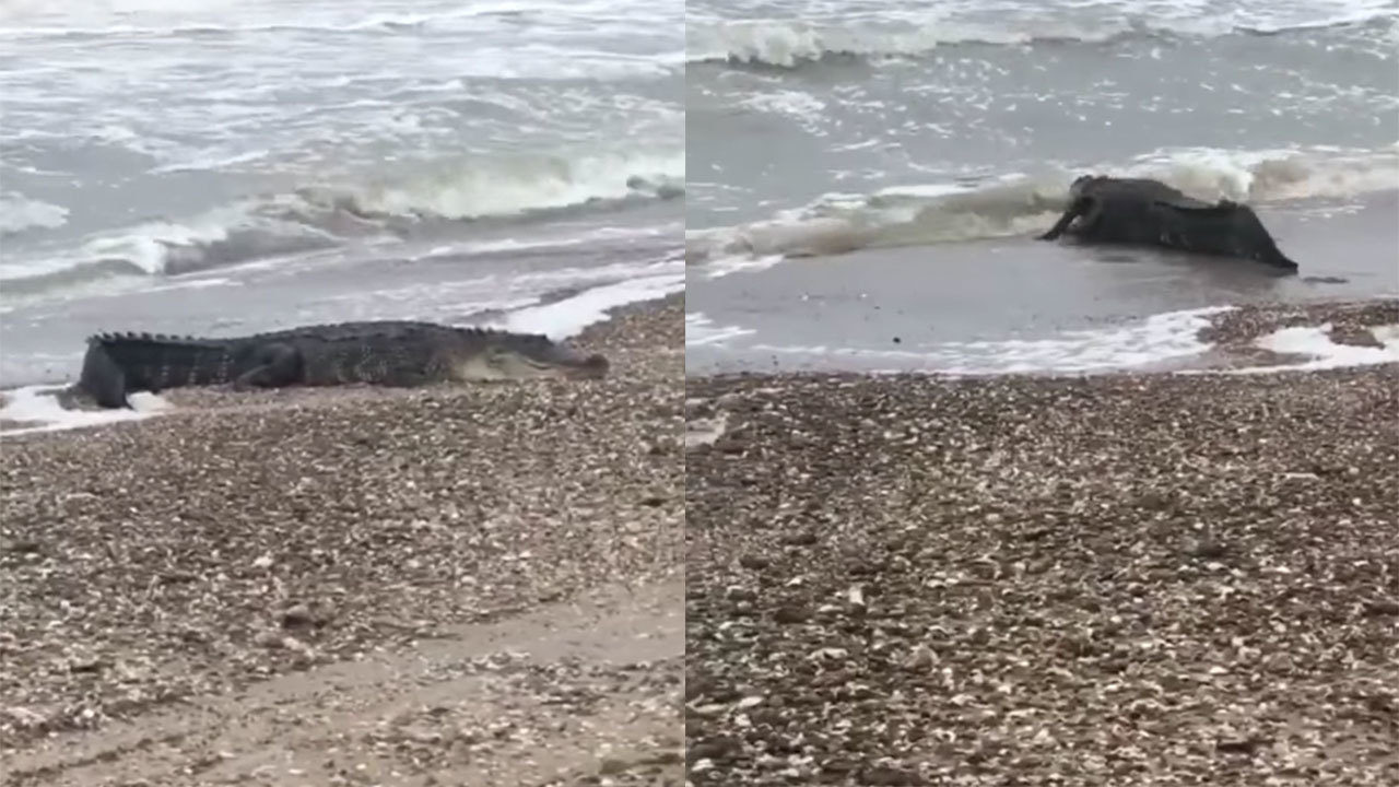 Watch alligator disappear as it swims into waves at Texas beach
