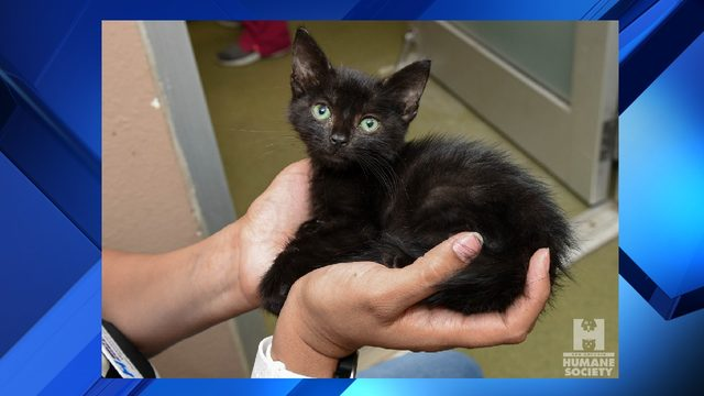 Five-week-old kitten rescued from dumpster, now at Humane Society