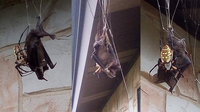 Bat found trapped in massive spider's web in Poteet
