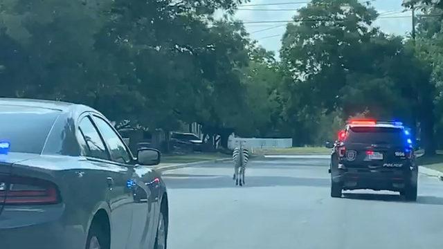 Zebra on loose in San Antonio-area community, police say