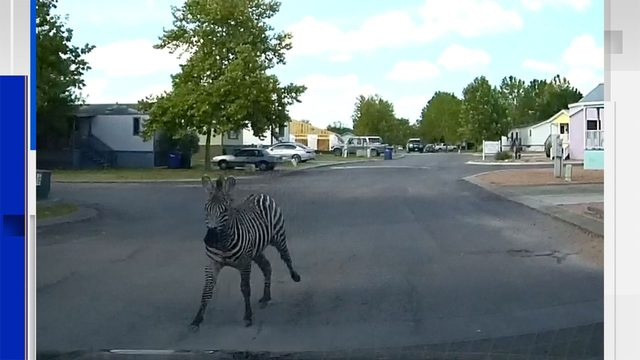 WATCH: Close encounter with escaped zebra caught on camera