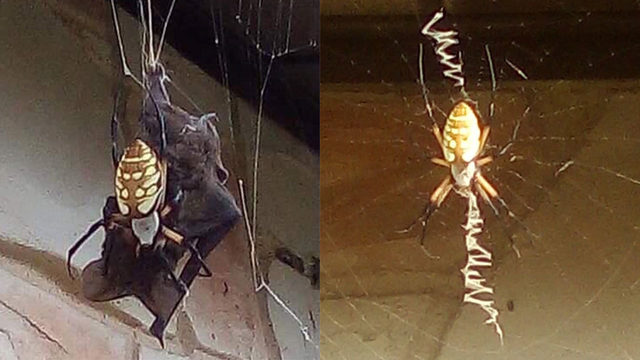 Truth behind crazy photo of bat caught in spiderweb in Poteet