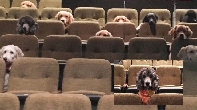 Service dogs enjoy theater performance for training purposes