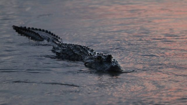 WKMG: 11-foot gator tried to pull hunter from boat